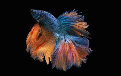 Blauw, Oranje en uitslag enquete